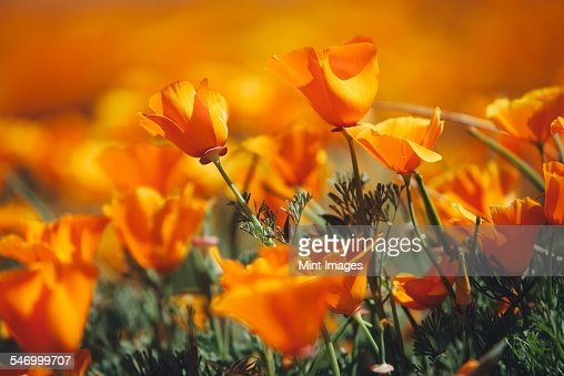 A naturalised crop of the vivid orange flowers, the California poppy, Eschscholzia californica, flowering, in the Antelope Valley California poppy reserve. Papaveraceae.
