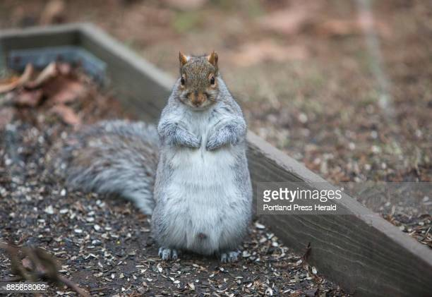 Naturalist Doug Hitchcox has many ideas on how to keep squirrels from eating the seed from bird feeders but he also suggests that spreading seed on...