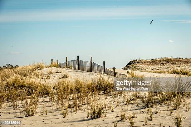 A naturally formed sand dune foreground in the north island area of Assateague Island National Seashore stands alongside a manmade dune in Assateague...