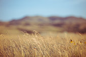 High resolution nature background photograph in color. Tall brome grass in selective focus with bokeh blur landscape in background. No people in image. Horizontal compositon