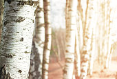 Nature blurred abstract background with birch tree