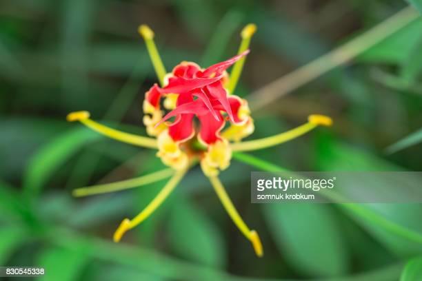 Nature Climbing Lily
