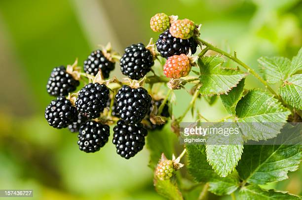 Nature food - blackberries bunch on a farm.