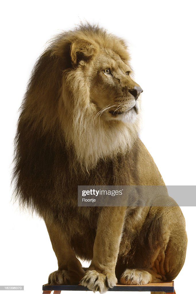 *Lion isolated