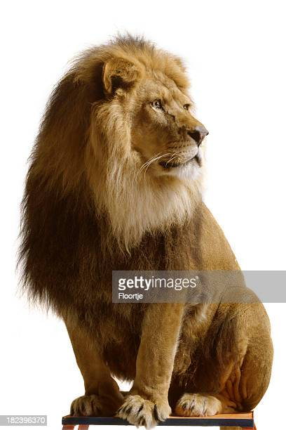 Nature: Lion Isolated on White Background