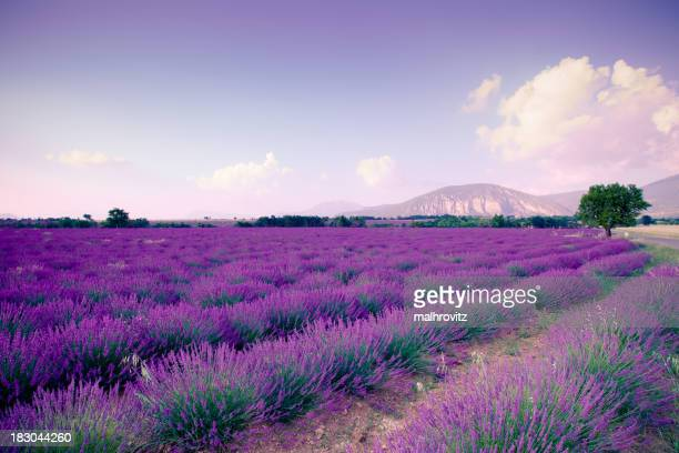Nature view of Plateau de Valensole in landscape