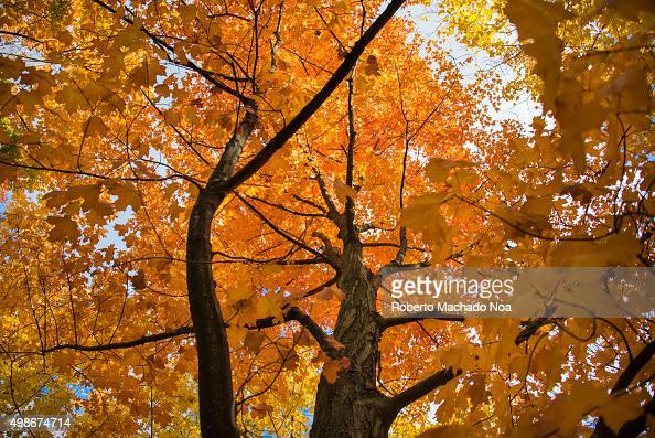 Nature wallpapers or Autumn backgrounds Maple tree with golden orange leaves and tall branches