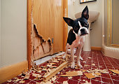 A tiny Boston terrier puppy chews a hole in the bathroom door in an attempt to escape