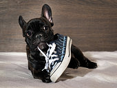 Naughty Puppy chewing shoes - sports shoes. Dog black bulldog. Dog lying on the bed