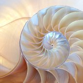 nautilus shell symmetry cross section spiral structure growth golden ratio back and front lighting Fibonacci golden ratio
