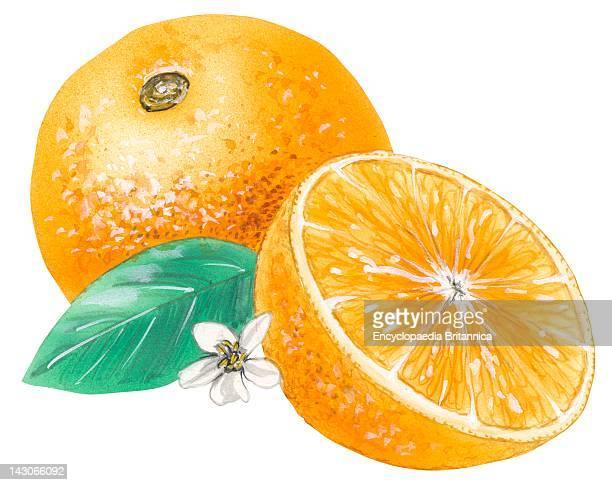Navel Orange Navel Orange