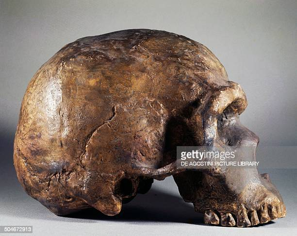 Neanderthal fossil skull profile found in Mount Circeo Lazio Italy Rome Museo Di Paleontologia