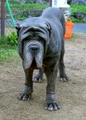 A Neapolitan Mastiff is seen at the World Ranch on November 3 2013 in Kanan Osaka Japan