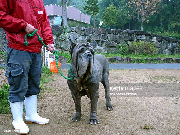A Neapolitan Mastiff is seen at the World Ranch on November 3 2013 in Kanan Osaka Japan