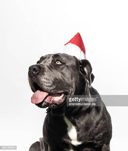 Neapolitan Mastiff Mix Wearing a Christmas Hat - The Amanda Collection
