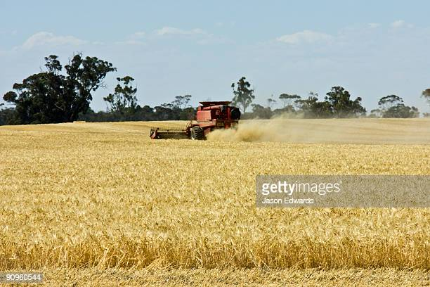 A combine harvester working in a dusty wheat field collecting grain.