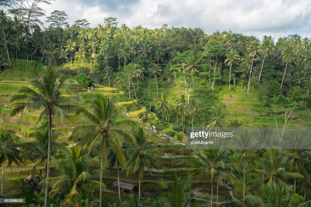 Near the cultural village of Ubud is an area known as Tegallalang that boasts the most dramatic terraced rice fields in all of Bali in Indonesia. : Stock Photo