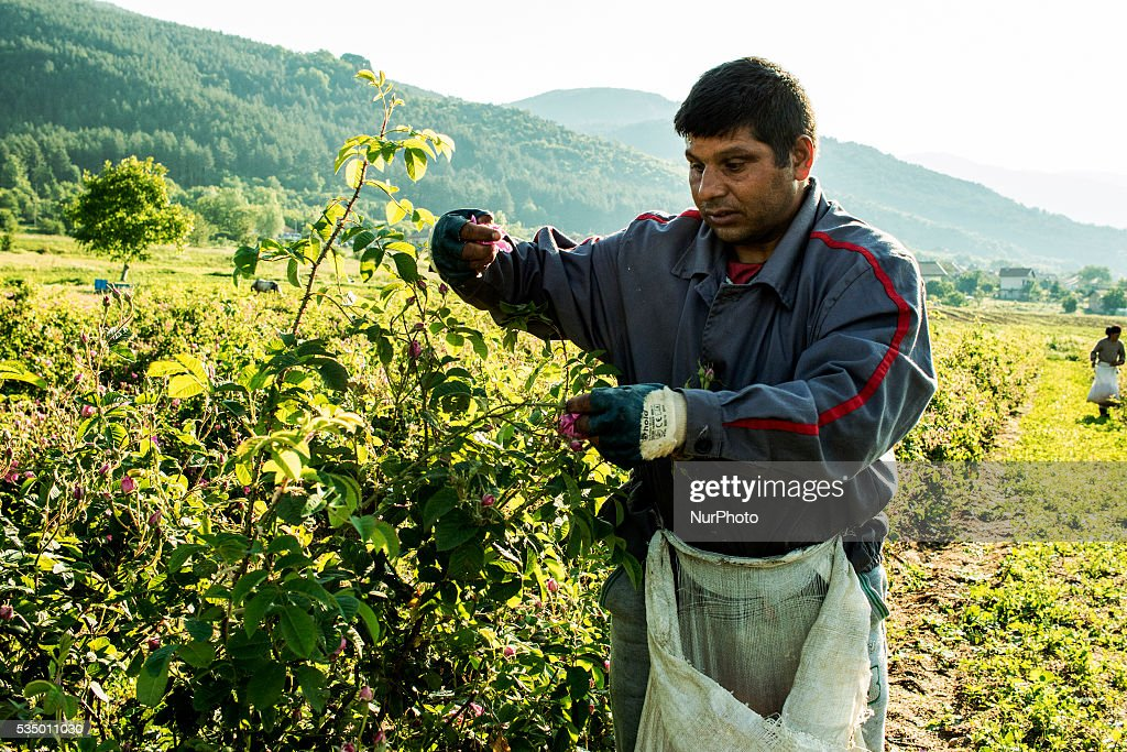 Near the village of Rozino about 150 km from Sofia, Bulgaria, workers are gathering rose flowers (Rosa Damascene) from which the famous Bulgarian Rose oil, most valued in the perfume industry, is extracted.