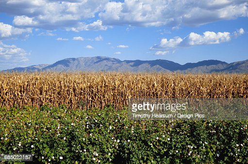 Near Wenden, Arizona, a mature cotton field is seen in the foreground with dry cornstalks, mountains, blue sky and clouds beyond : Stock Photo