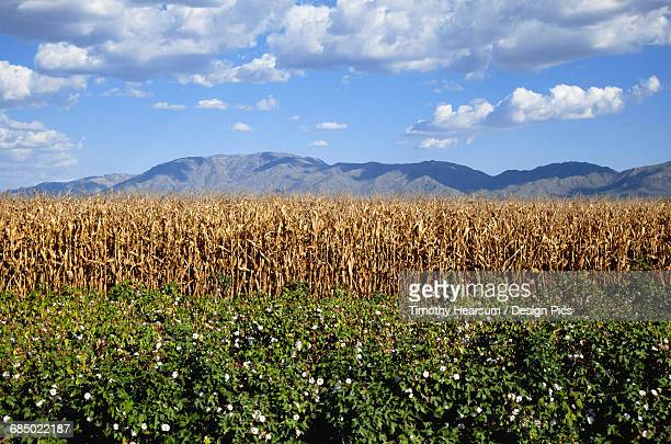 Near Wenden, Arizona, a mature cotton field is seen in the foreground with dry cornstalks, mountains, blue sky and clouds beyond