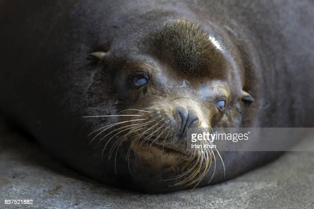 AUGUST 22 2017 Nearly 700 lbs California sea lion at Los Angeles Zoo's Sea Life Cliffs exhibit Sea lion named ' Buddy' is blind adult male estimated...