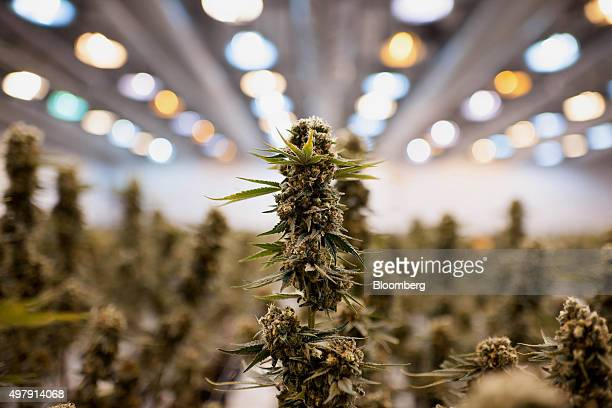 Nearly matured medical marijuana plants grow in a climate controlled growing room at the Tweed Inc facility in Smith Falls Ontario Canada on Nov 11...
