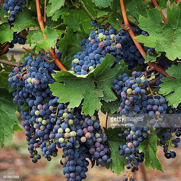 Nearly Ripe Blue Grapes on a Vine