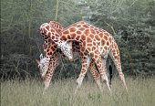Two giraffes knotting their necks together.