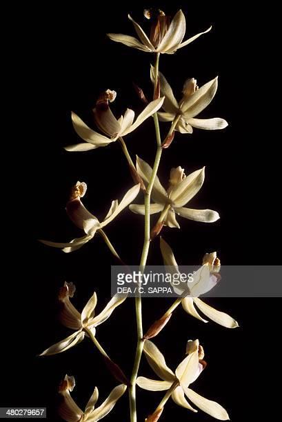 Necklace Orchid Orchidaceae