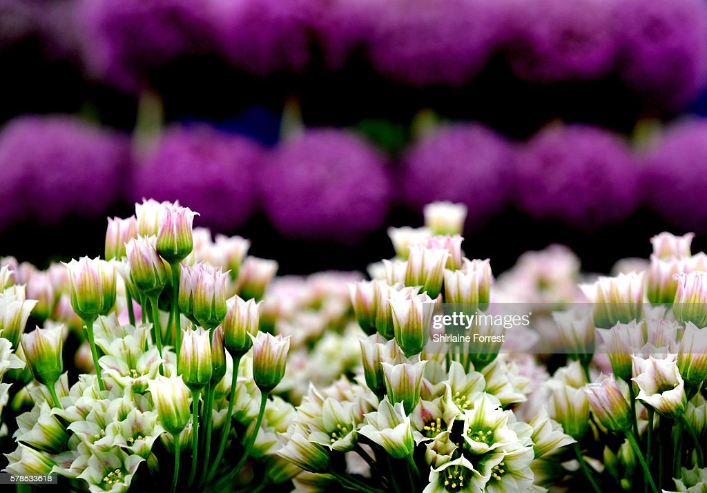 Nectaroscordum tripedale and giant Alliums during the RHS Flower Show at Tatton Park on July 21 2016 in Knutsford England