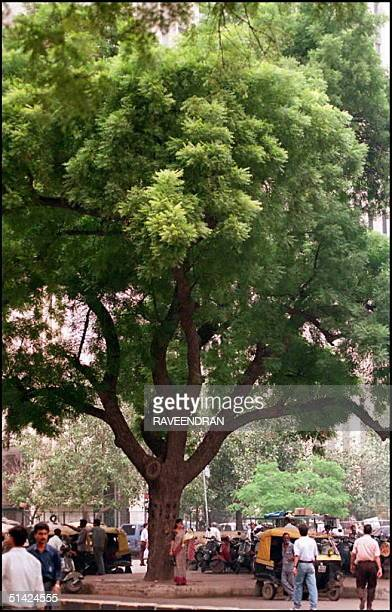 Neem Tree in a New Delhi street taken 15 Sept AFP PHOTO