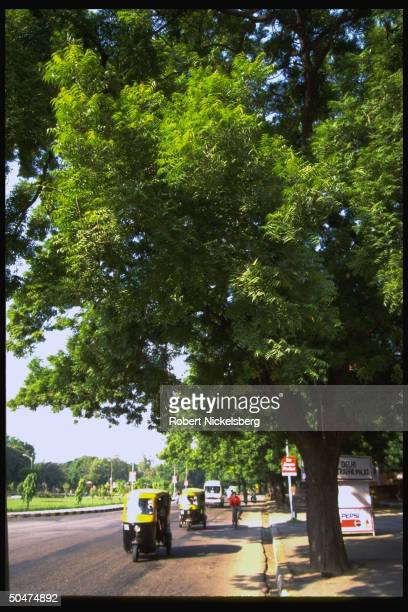 Neem trees gracing roadside tree yielding bark seeds sticks used in medicinal preparations latter used as toothbrushes