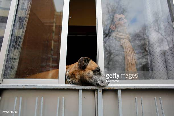 A neighbor of 52 yearold Agustina Molina Montes from Ecuador looks through the window in company of his dog during Agustina's eviction in Madrid 52...