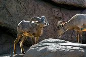 Nelson's / Desert bighorn sheep standing in rock face Arizona US
