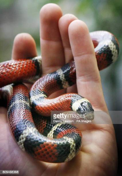 A Nelsons Milk Snake at the new Tropical Forest Zone at Edinburgh Zoo