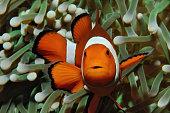Amphiprion (Western clownfish (Ocellaris Clownfish, False Percula Clownfish)) is hiding in anemone, Puerto Galera, Philippines