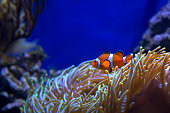 Nemo at home - clownfish hiding in Sea Anemone