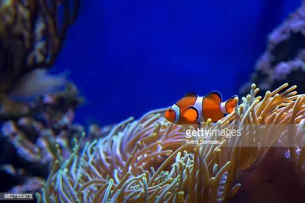 Nemo at home - clownfish hiding in Sea Anemone