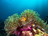 Nemo clownfish in its host anemone with sun rays coming down in the background