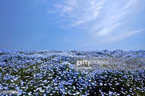 Nemophila field