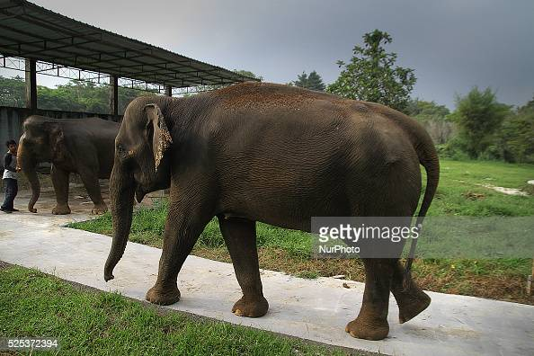 Neneng Sumatran elephants aged 33 years preparing to be cleaned in the area of Zoo Medan North Sumatra Indonesia on Monday November 24 2014 Report of...