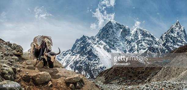 Nepal, Himalayas, Khumbu, Everest Region, Taboche, Yak standing on rock