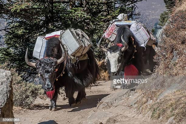 Nepal, Himalayas, Kumbu, Tengboche, Yaks carrying bags on mountain path