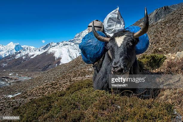 Nepal, Khumbu, Everest region, Dingboche, yak with load