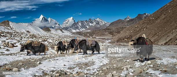 Nepal, Khumbu, Everest region, Yaks near Dingboche