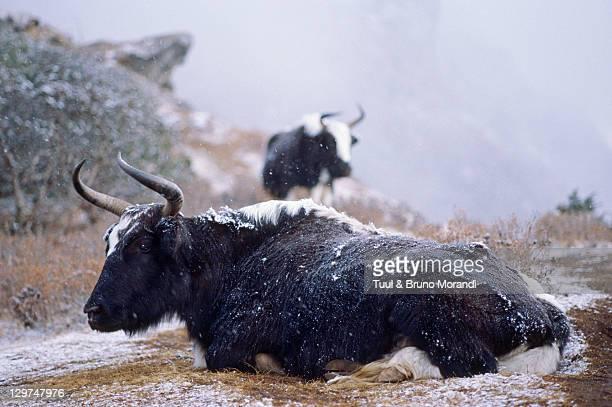 Nepal, Khumbu province, Everest area, Yak under sn