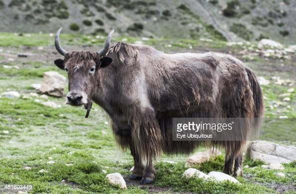 Nepal Upper Mustang Close up view of a yak on a green high mountain pasture
