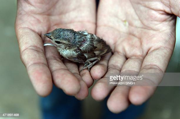 A Nepalese boy shows a rescued sparrow chick after a nest fell during the earthquake in Kathmandu on May 2 2015 Nepal ruled out the possibility of...