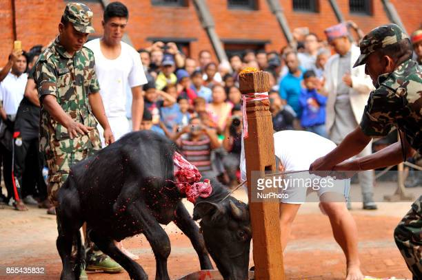 A Nepalese devotees slaughter a Buffalo on the occasion of Navami ninth day of Dashain Festival at Basantapur Durbar Square Kathmandu Nepal on Friday...