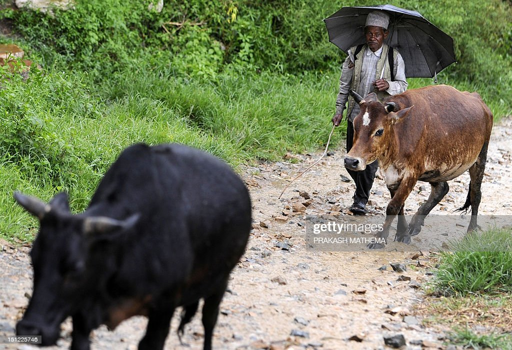 A Nepalese farmer returns home with his cow from his paddy field in the village of Khokana, on the outskirts of Kathmandu on September 4, 2012. Over 80 percent of Nepal's 27 million population depends upon agriculture and paddy is the major crop in the Himalayan nation. AFP PHOTO/Prakash MATHEMA